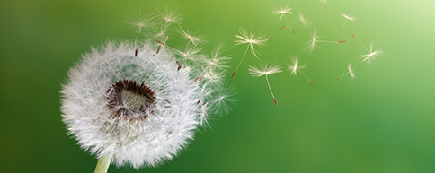 Seeds blowing off a dandelion head