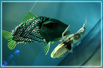 A previous robotic fish developed by researchers at Essex